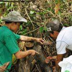 Cần bán nấm lim xanh đảm bảo chất lượng