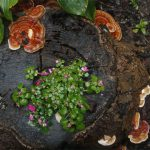 Băn khoăn về tác dụng phụ của cây nấm lim xanh