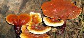 các loại nấm quý ở việt nam