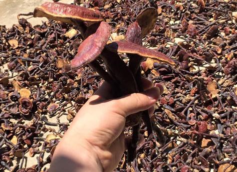 Đại lý phân phối nấm lim xanh Quảng Nam