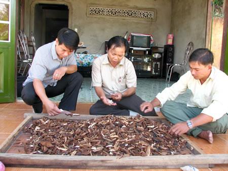 Nấm lim xanh Nguyễn Hoa