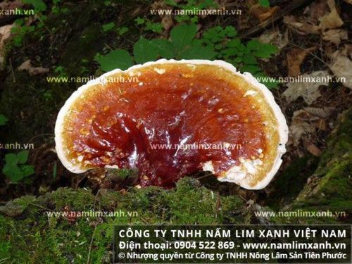 Bán nấm lim xanh thu hái từ rừng Tiên Phước trên 63 tỉnh thành