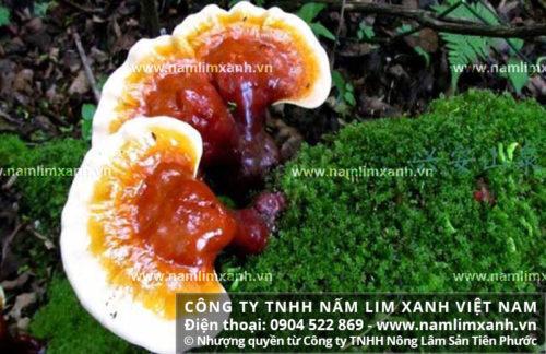 Công dụng nấm lim xanh tự nhiên được chứng minh trong nhiều nghiên cứu