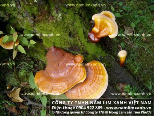 Hình ảnh nấm lim xanh tự nhiên tại rừng nguyên sinh