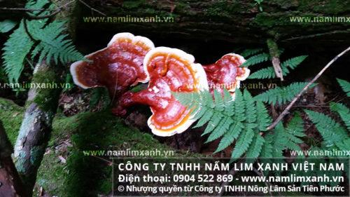 Tác dụng của nấm lim xanh rừng Quảng Nam được nhiều người quan tâm tìm hiểu